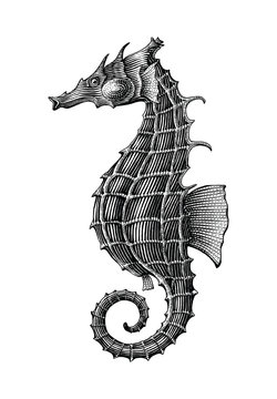 Sea horse hand drawing vintage engraving illustration isolate on white background