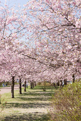 Almond tree alley in the park in springtime