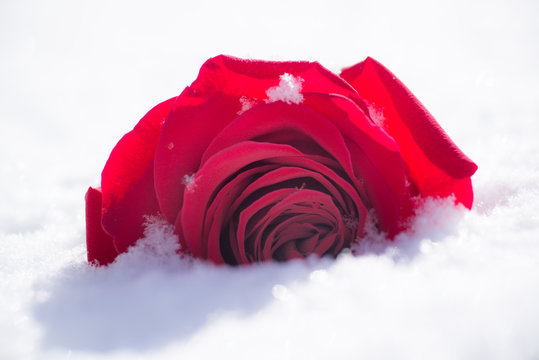 Vibrant single red rose in the snow as background.  horizontal image, one isolated bloom