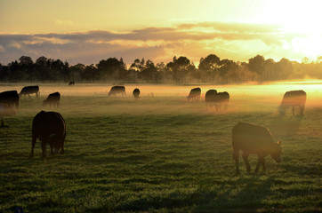 Fotobehang Koe Rural landscape with herd of cows in morning fog at sunrise in Morpeth, NSW, Australia