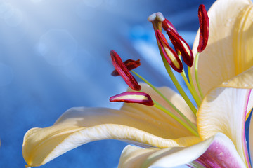 Lilly flower closeup.