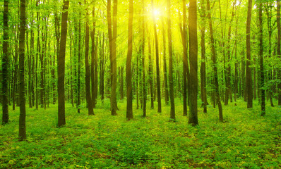 Wall Murals Forest Forest and sun rays