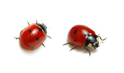 Ladybugs on white