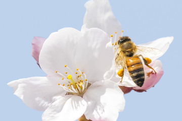 Honey bee flying around cherry blossom