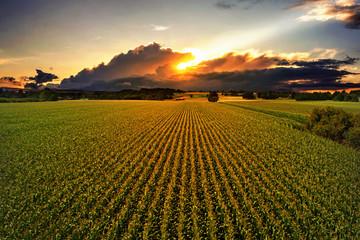 Maisfeld im Sonnenuntergang Fotoväggar