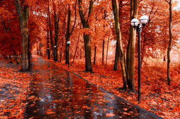 In de dag Rood traf. Fall landscape. Red fall trees and fall leaves on the wet footpath in park alley after rain