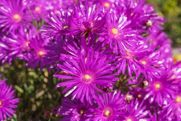 Bright Purple Daisies