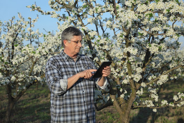 Agronomist or farmer examining blossoming plum trees in orchard, using tablet