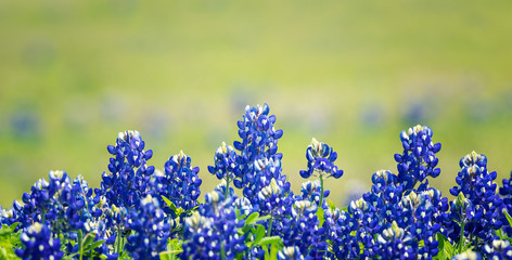 Foto auf Acrylglas Texas Texas Bluebonnet (Lupinus texensis) flowers blooming in springtime. Selective focus.