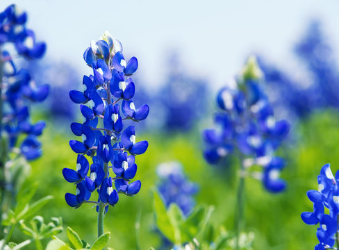 Texas Bluebonnet (Lupinus texensis) flowers blooming in springtime. Selective focus.