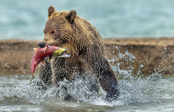 The bear catches the salmon - Kamchatka, Russia