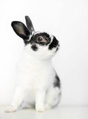 A black and white Dwarf rabbit on a white background