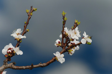 White plum blossom over cloudy blue sky background