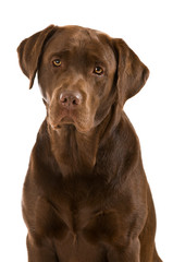 Labrador Retriever isoliert auf weißem Grund