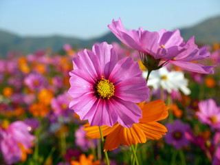 Cosmos flower background for your work.