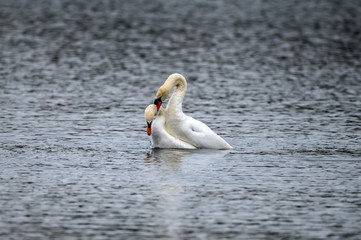 Mute Swans mating on a loch