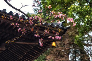 Traditional Japanese roof tiles and blooming sakura flowers in Shinshoji Temple, Japan