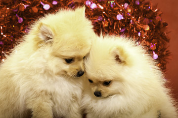 Two Pomeranian Puppies Snuggling Each Other in Front of a Red Heart Valentine's Day Background