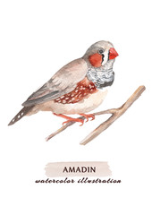 Watercolor Amadin bird on the branch,  isolated on a white background.