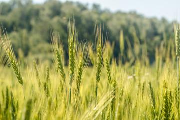 Rye ears close on the field in June