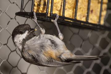 Chickadee Hanging Off Suet Cage