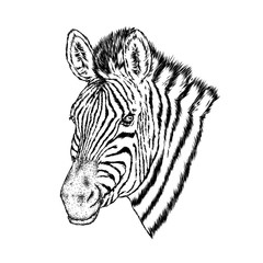 A zebra. Vector illustration.