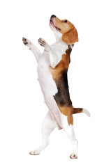 Side view picture of a beagle dog standing on hind legs  on white background