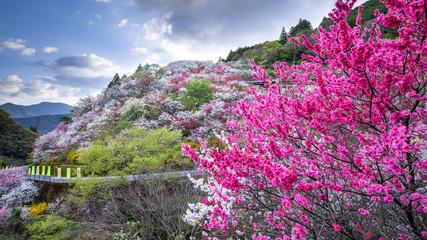 上久喜の花桃