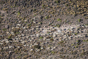 Llamas and alpacas graze in the mountains near Arequipa, Peru
