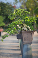 Close-up of single Bonsai Tree by a park outdoor area