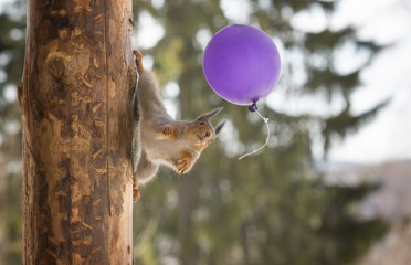 red squirrel in a tree holding an balloon