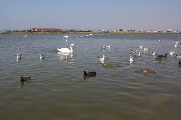 Wild swans and other birds floating on the water.