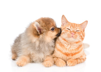 spitz puppy kisses the cat. isolated on white background