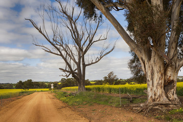 A beautiful country road in Western Australia with canola fields on either side.