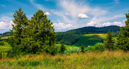 row of trees on Carpathian hills. beautiful countryside scenery of mountainous rural area