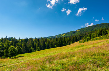 wide meadow among the spruce forest. lovely summer landscape in mountains