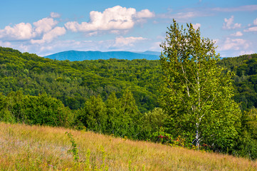 tall birch tree on grassy hillside in mountains. beautiful summer landscape in afternoon