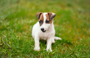 Little junior Jack Russell terrier smile in grass