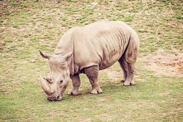 White rhinoceros, red filter