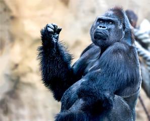 Gorilla ape portrait