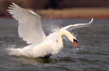 Foto op Canvas Zwaan Mute Swan
