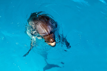 Dolphin portrait while looking at you with open mouth
