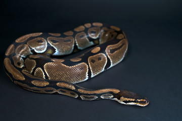 Royal Python. Natural color is normal. Snake. Black background.