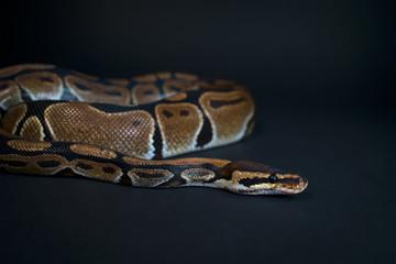 Royal Python. Natural color is normal. Snake. Wild nature. Black background. Studio.