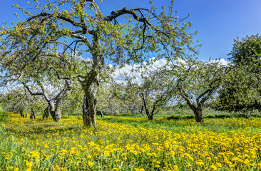 Apple orchard with many blooming trees with white and pink flowers during summer countryside