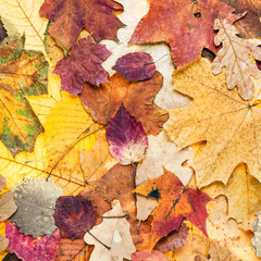 autumn background from various color leaves