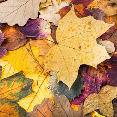 autumn background from pied fallen leaves