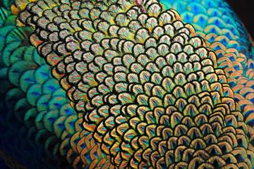Fototapeta premium Szczegóły dotyczące piór płaszczowych męskiego pawia zielonego / pawia (Pavo muticus) (płytkie dof)