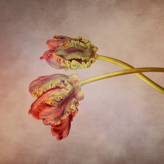Parrot tulips with textured background, orange