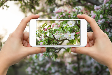 A woman is making a photo of a blossoming tree on the phone
